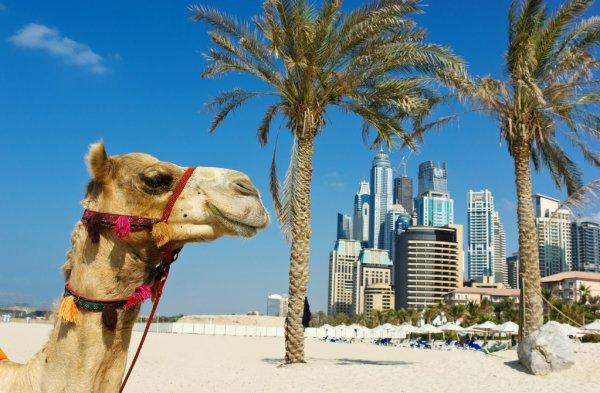 depositphotos 15736701 stock photo camel at the urban building
