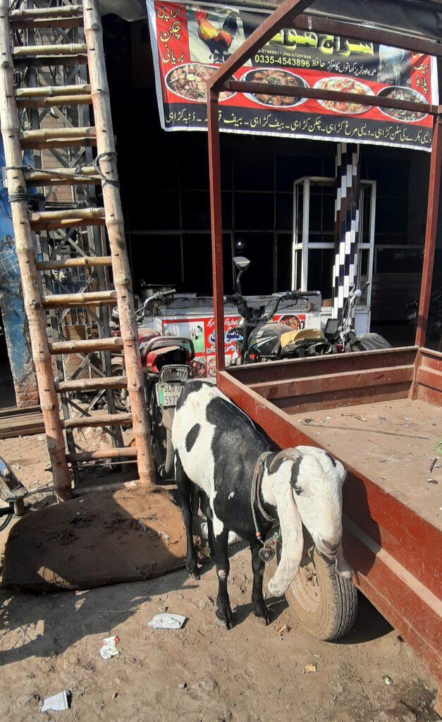 Random kecske az óváros bejárata előtt