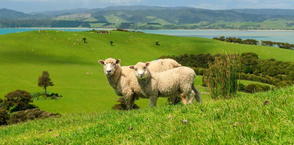 NZ sheeps