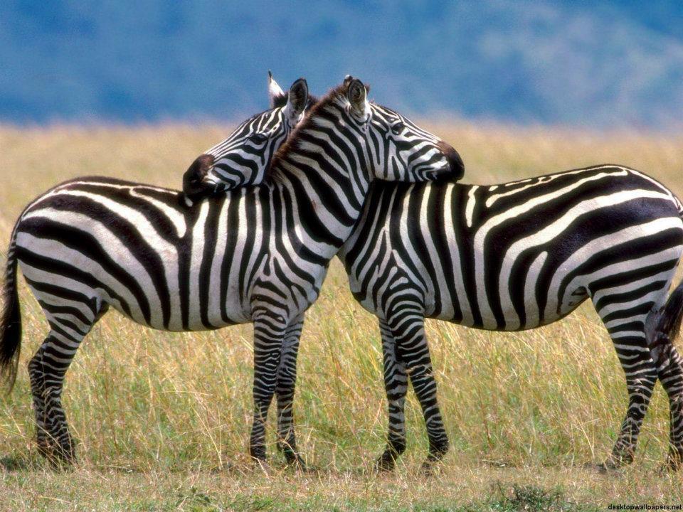 zebra.love