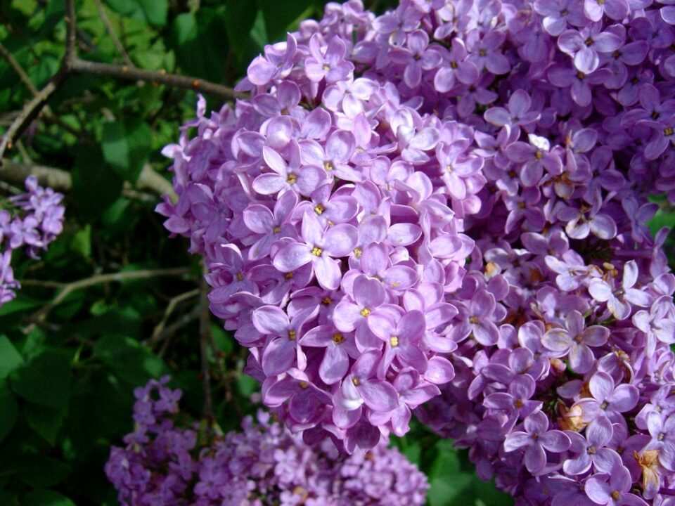 Lilac flowers1 1