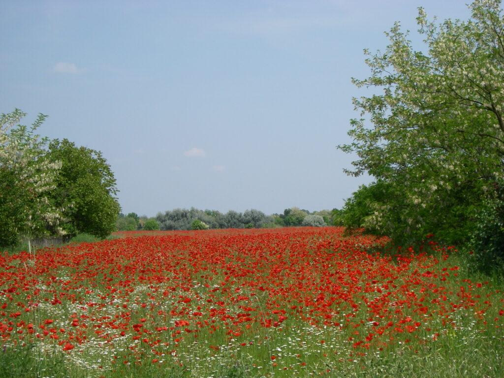 Red poppy panoramio